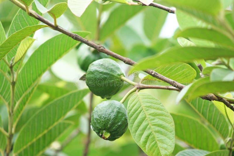 Молодой плодоовощ guava стоковое фото rf