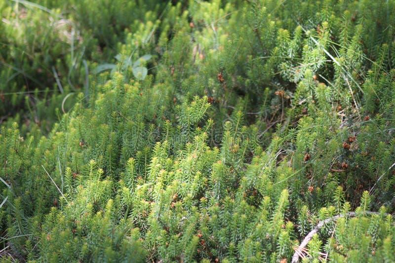 Молодой росток дерева деревца сосен в лесе стоковое изображение