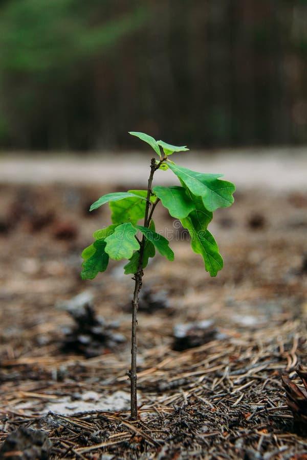 Молодой росток дуба стоковое изображение