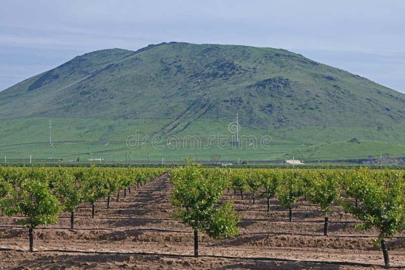 Молодой сад цитрусовых фруктов в Central Valley Калифорнии, стоковое фото