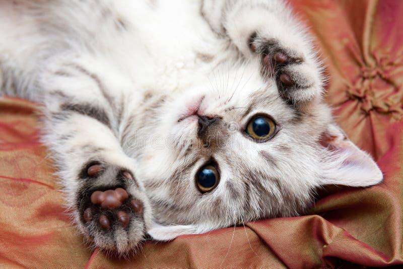 Молодой серый великобританский кот лежит вверх ногами на кровати стоковые фотографии rf