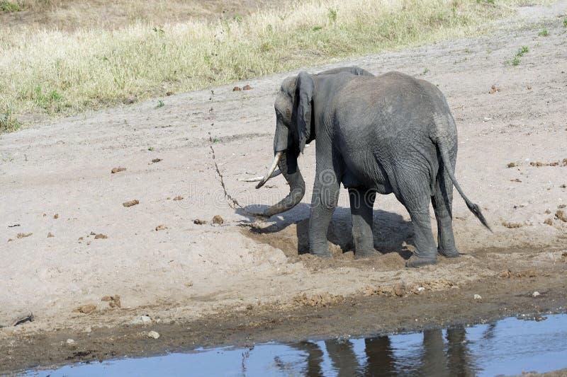 Молодой слон играя на песочном русле реки, назад к камере стоковые фото