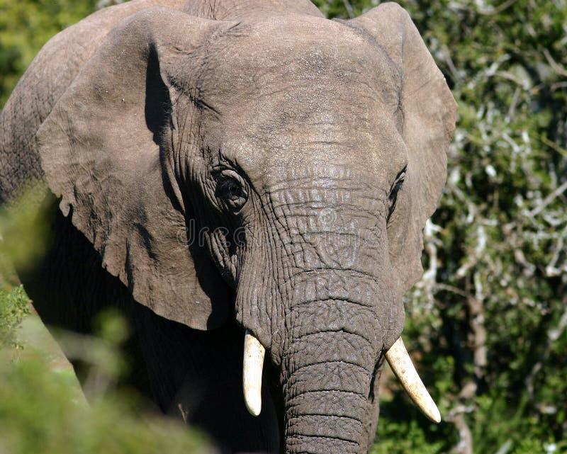 Молодой слон Bull стоковые изображения rf