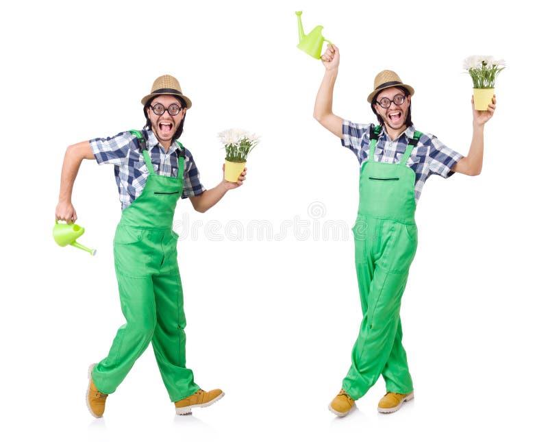 Молодой смешной садовник с тюльпанами и моча консервной банкой изолировал oin w стоковое фото rf