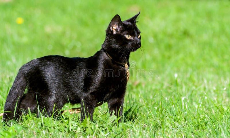 Молодой черный кот с большими желтыми глазами стоковое изображение