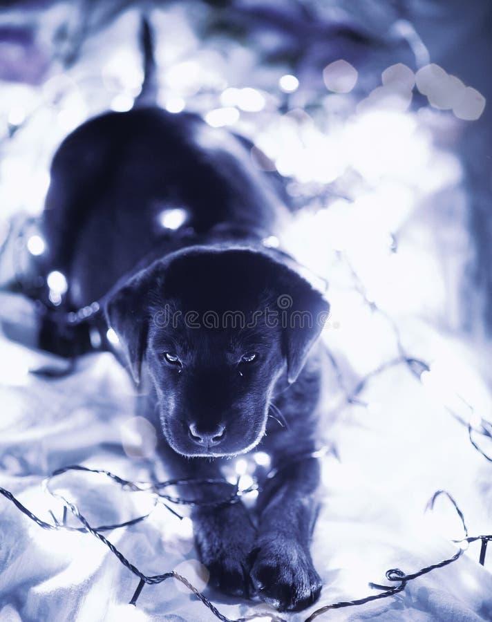 Молодой черный щенок labrador стоковые изображения