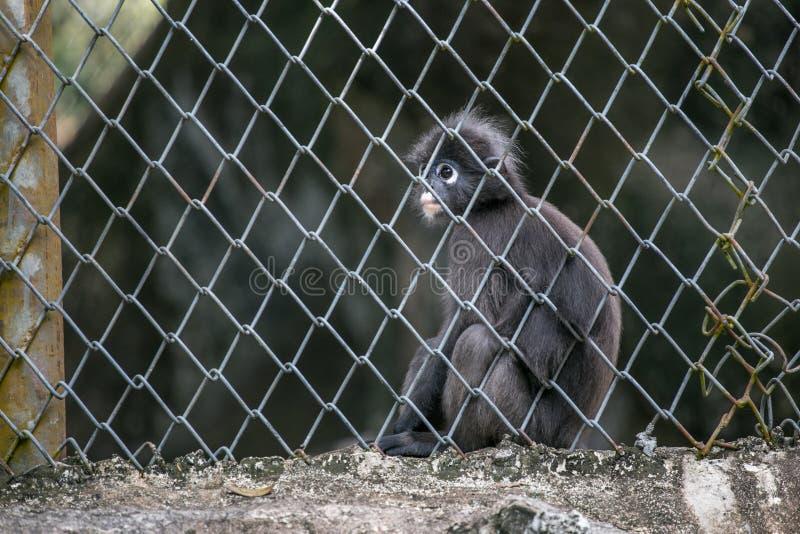 Молодой Dusky Langur выглядит как обезьяна сидя в клетке стоковая фотография rf