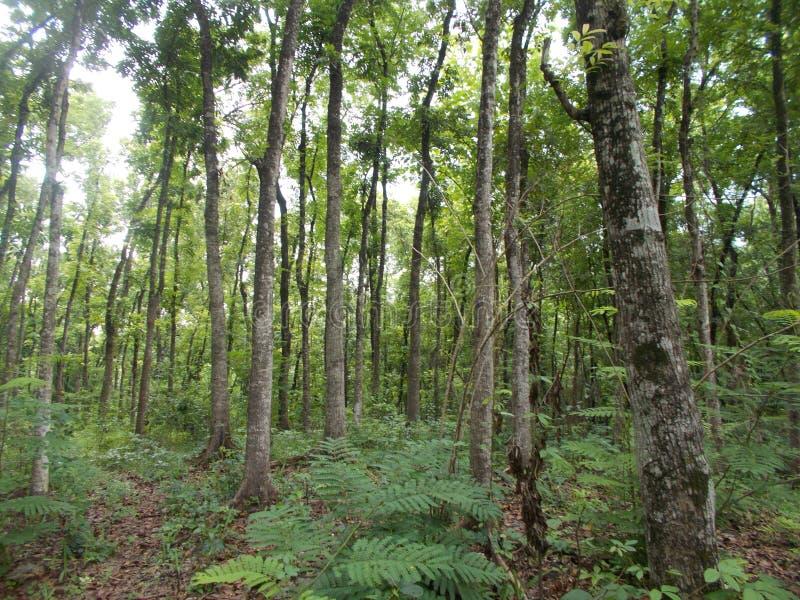 Молодой mahogany лес на Ява стоковые изображения rf
