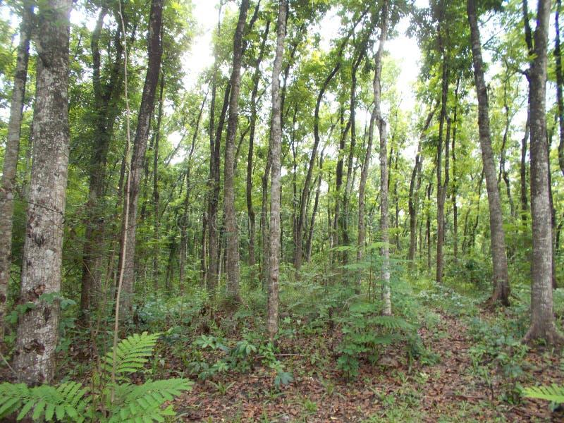 Молодой mahogany лес на Ява 2 стоковые фото