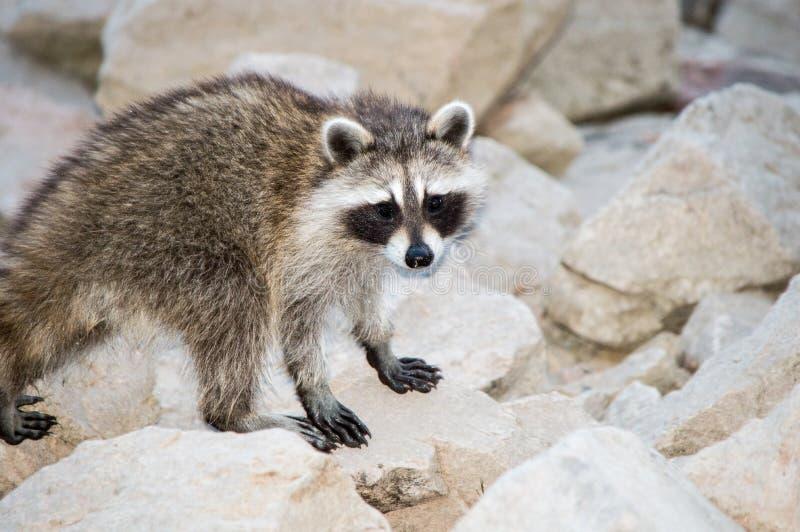 Молодой Raccoon стоковое изображение rf