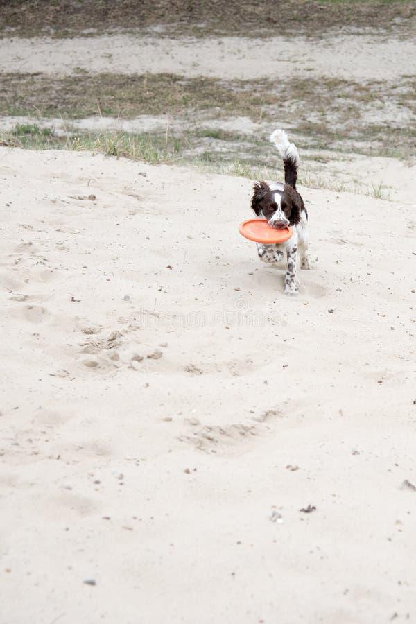 Молодой spaniel Спрингера играет с frisbee диска на природе Funn стоковые изображения rf