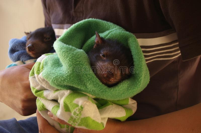 молодой Tasmanian дьявол Joey стоковая фотография rf