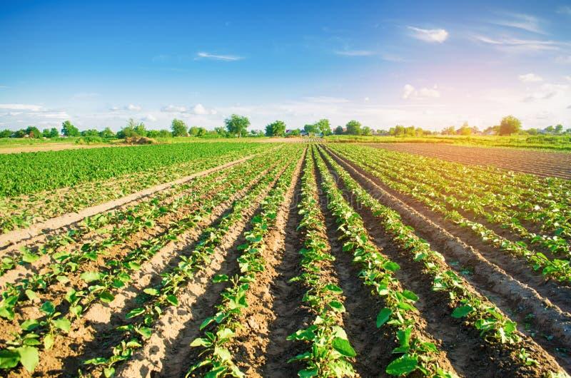 Молодые баклажаны растут в поле vegetable строки Сельское хозяйство farmlands Ландшафт с аграрным краем стоковые изображения rf