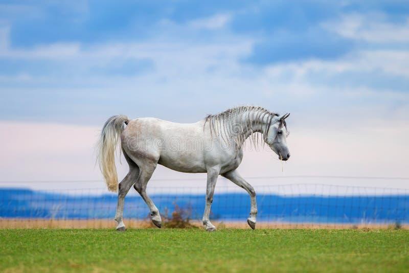 Молодые бега белой лошади на луге стоковые изображения rf