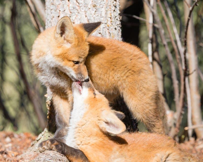 Молодые братья красной лисы нежно лижут один другого стоковое фото rf