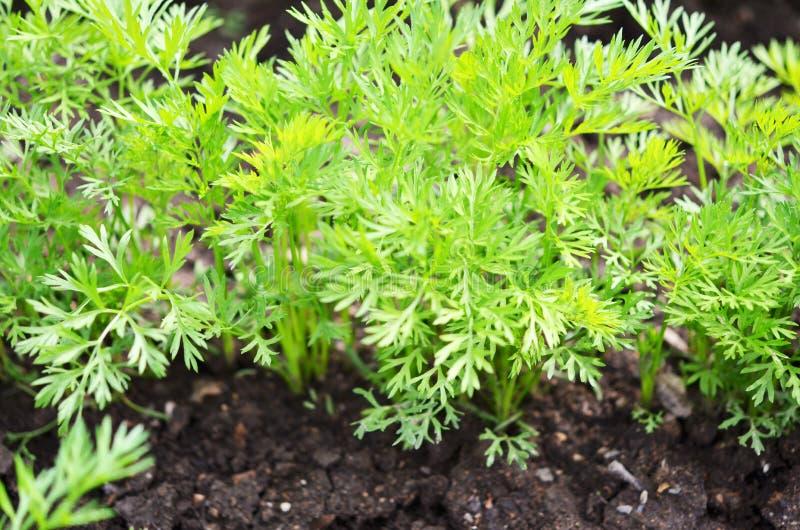 Молодые верхние части моркови, растя овощи в открытой земле на плодородной почве стоковое фото rf