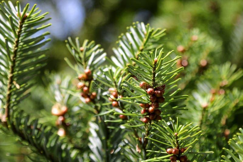 Молодые ветви кедра с гайками в парке или саде стоковое изображение rf