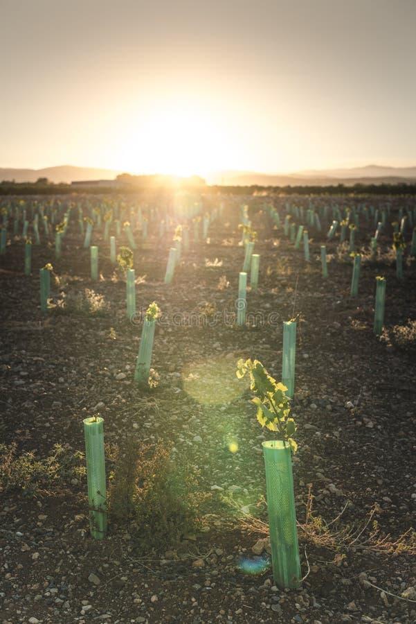 Молодые виноградники на заходе солнца стоковые фото