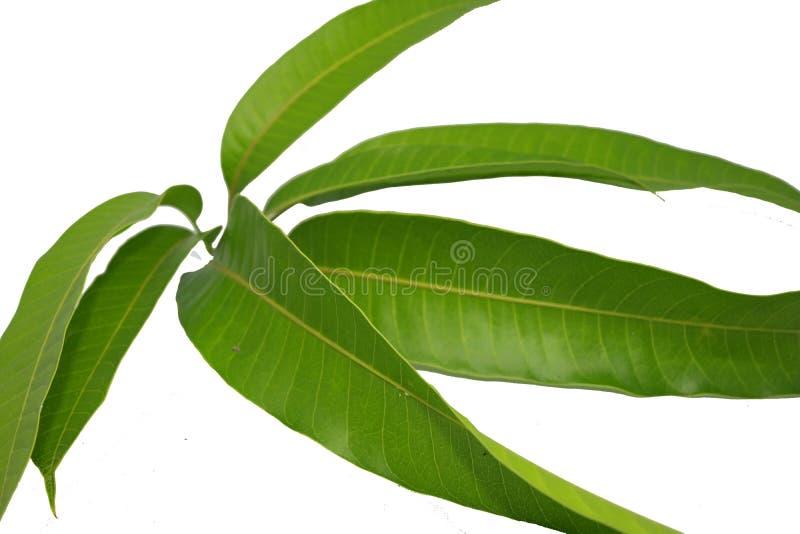 Молодые всходы лист манго сфотографированные на белом backgroun стоковое фото rf