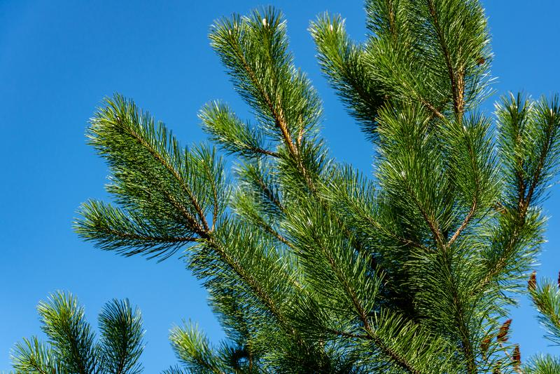 Молодые всходы на ветвях черной австрийской сосны Pinus Nigra на предпосылке голубого неба стоковое фото rf