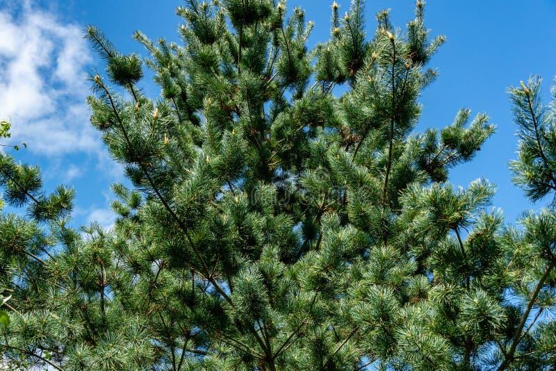 Молодые всходы на ветвях японского parviflora Glauca Pinus сосны на предпосылке голубого неба стоковая фотография rf