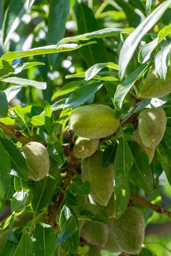 Молодые гайки зеленой миндалины riping на миндальном дереве стоковое изображение