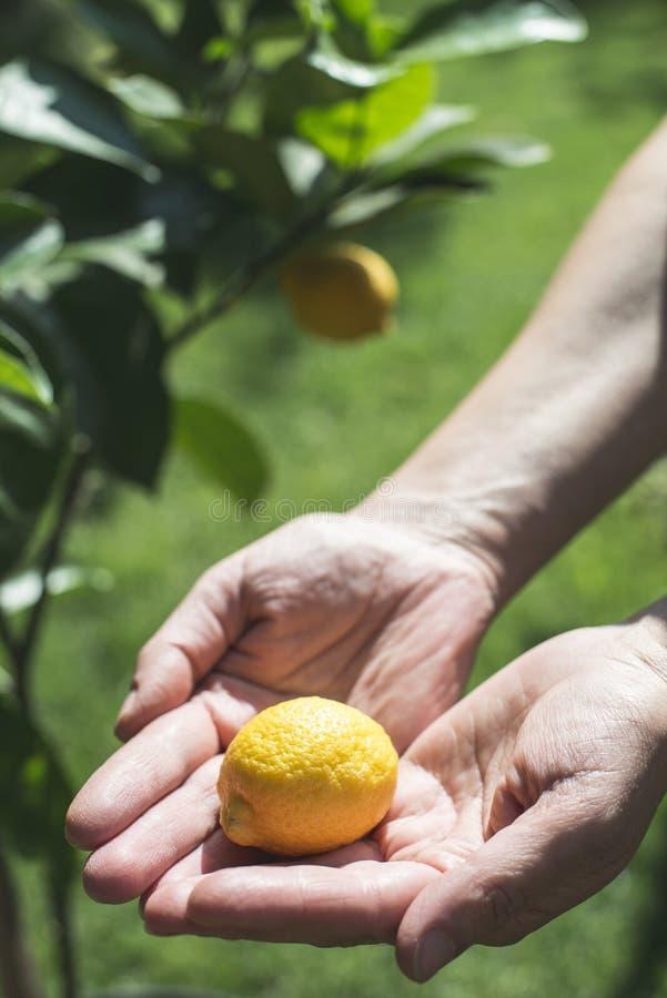 Молодые дерево и плод лимона стоковые изображения