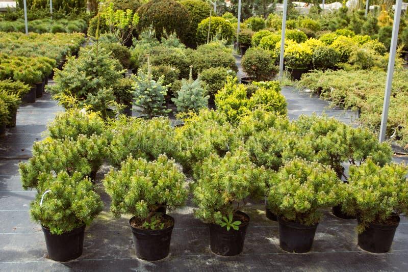 Молодые деревья в магазине сада стоковая фотография rf