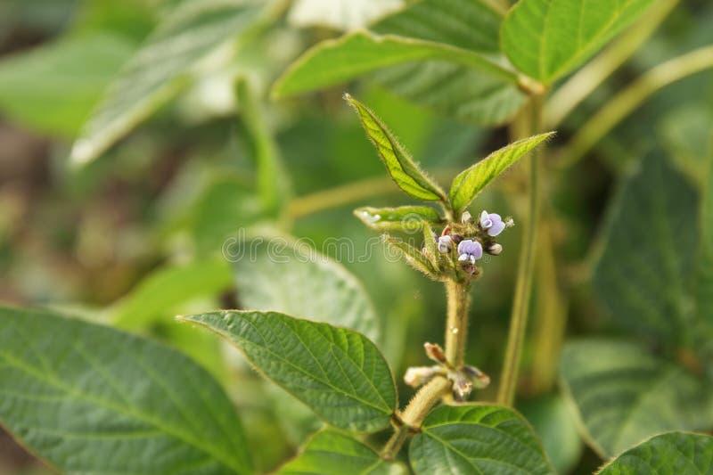 Молодые заводы сои с крошечными цветками на культивируемом поле сои стоковое фото