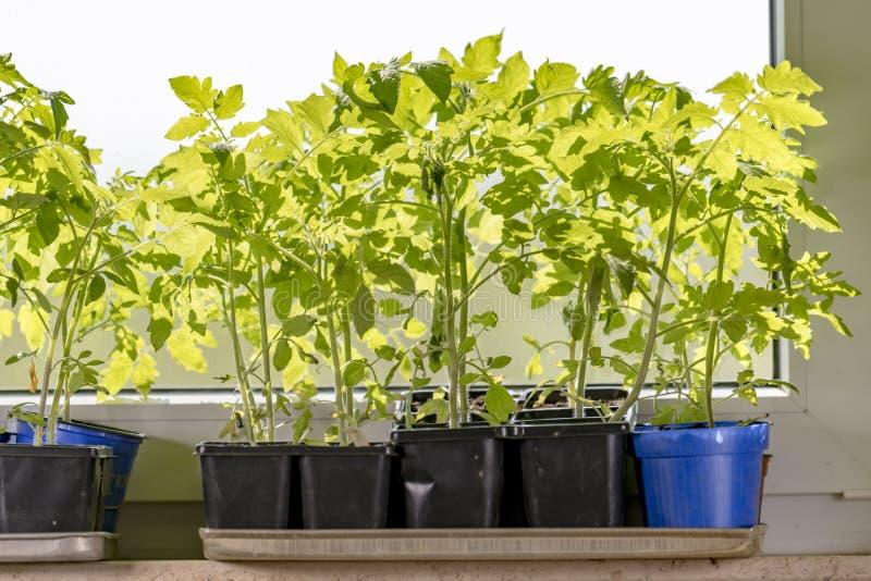 Молодые заводы томата в баках завода стоят на windowsill стоковые фотографии rf