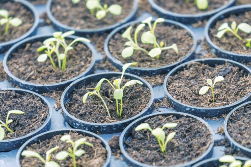 Молодые заводы Rucola, молодые ракеты, ростки Rucola, саженцы весны здоровый овощ стоковая фотография