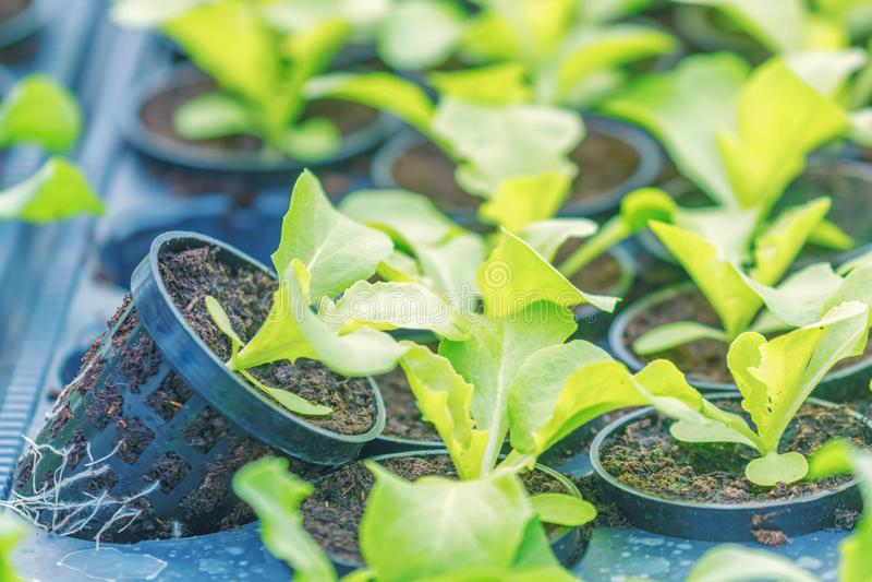Молодые заводы Rucola, молодые ракеты, ростки Rucola, саженцы весны здоровый овощ стоковые изображения rf