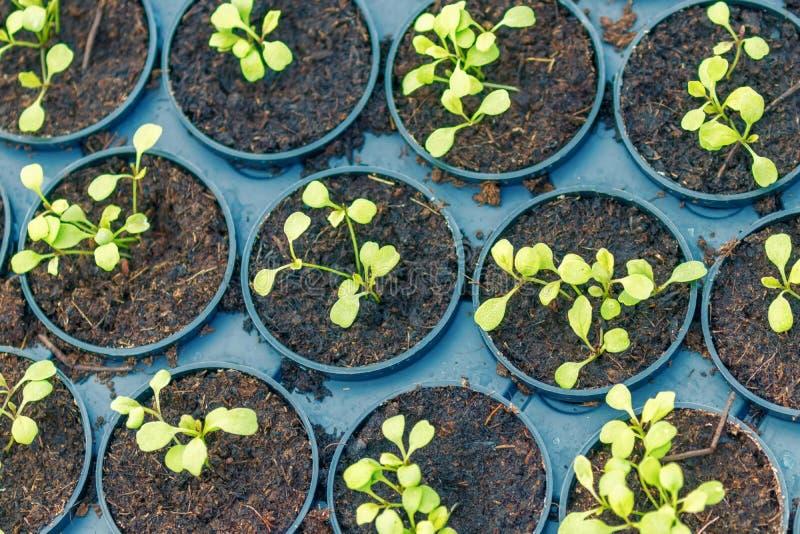 Молодые заводы Rucola, молодые ракеты, ростки Rucola, саженцы весны здоровый овощ стоковое фото rf