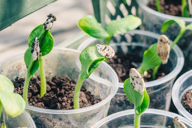 Молодые зеленые всходы тыквы, подготовленные для приземляться в открытую землю стоковое изображение rf