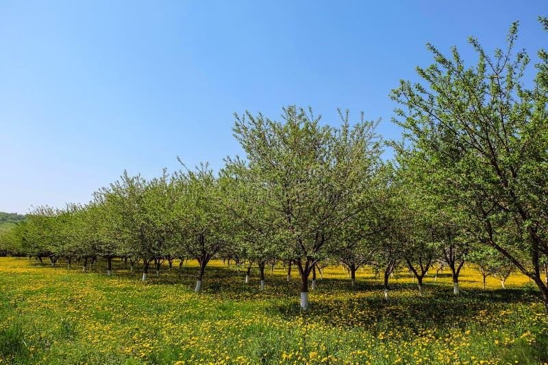 Молодые зеленые деревья сада плода на зеленой цвести лужайке желтых одуванчиков стоковое фото