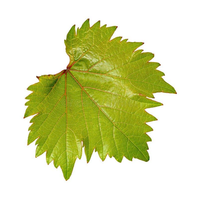Молодые зеленые лист вина с красными венами на белой предпосылке стоковое изображение