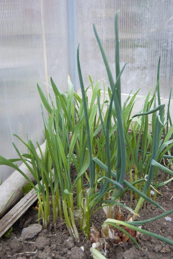 Молодые зеленые луки и чеснок растут в парнике стоковое изображение rf