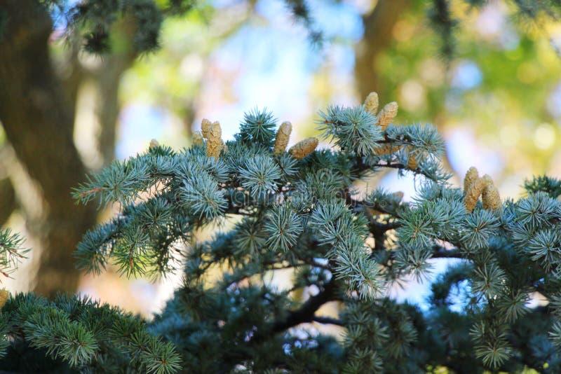 Молодые конусы цветня на ветви кедра стоковая фотография