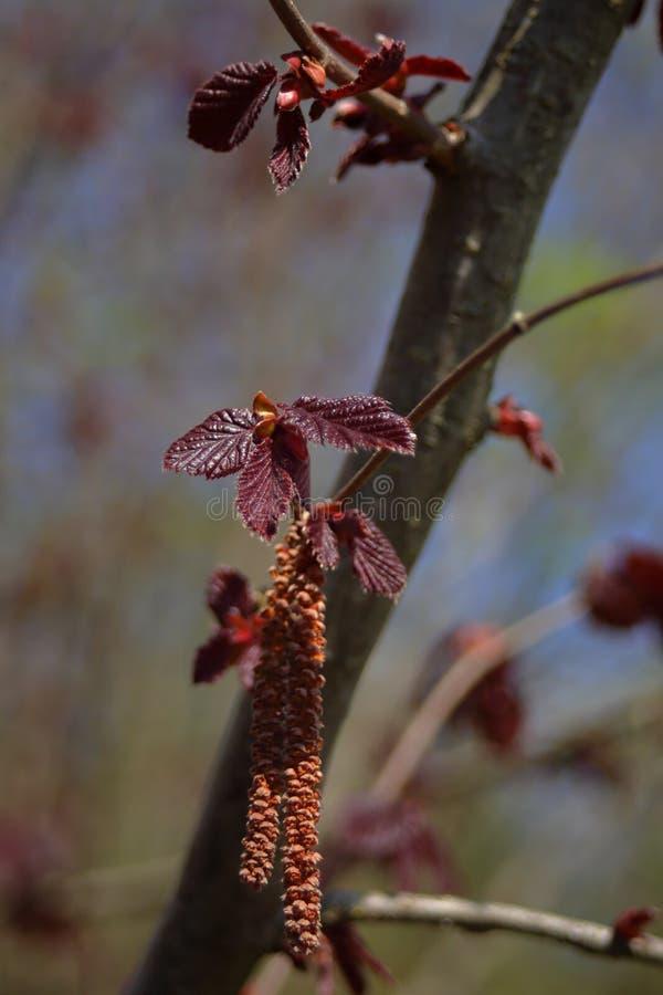 Молодые красные листья и catkins фундука стоковое фото