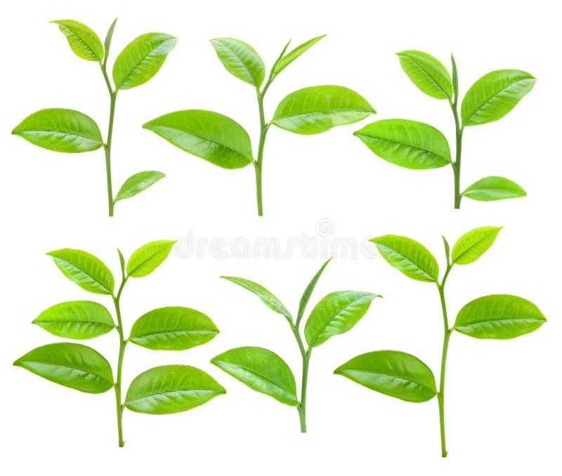 Молодые листья зеленого чая изолированные на белой предпосылке стоковое изображение