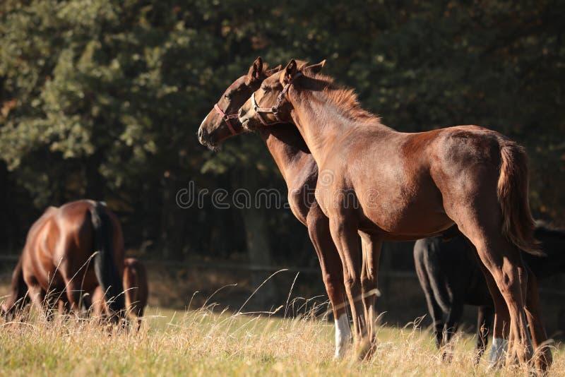 Молодые лошади в выгоне на предпосылке деревьев стоковая фотография
