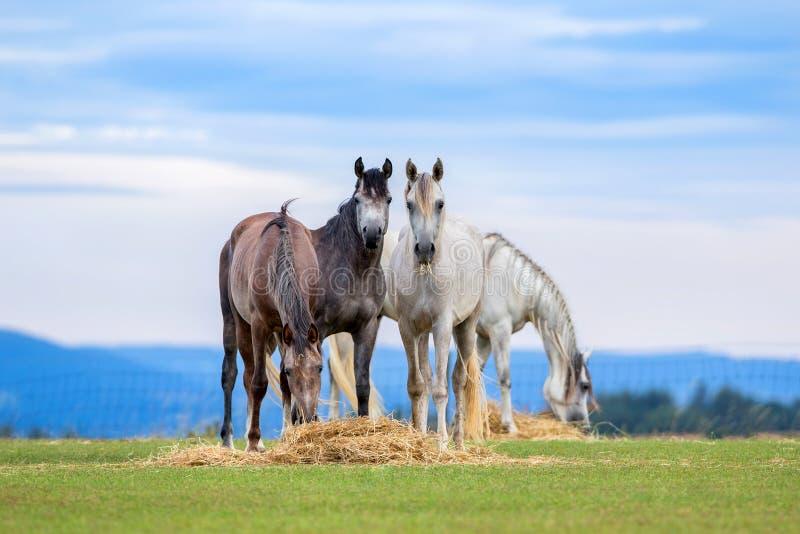 Молодые лошади пасут на выгоне летом стоковая фотография rf