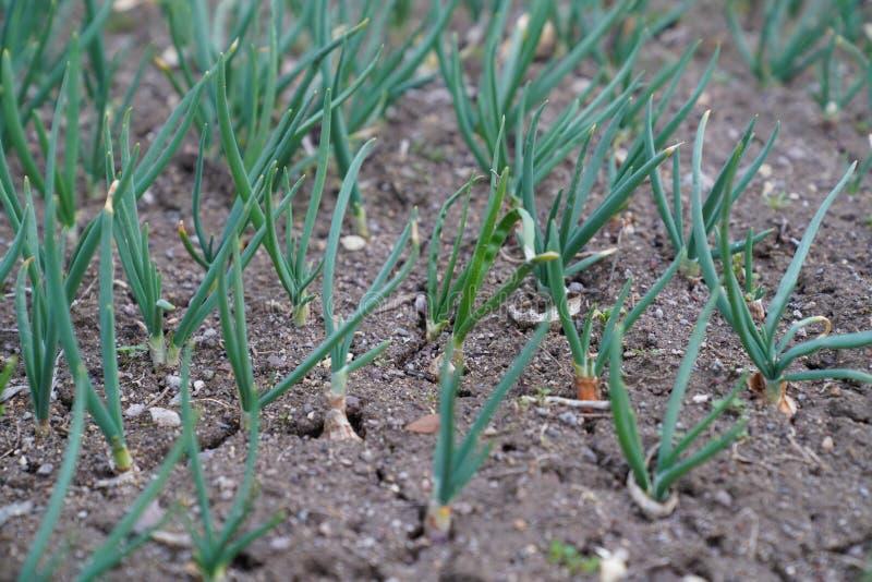 Молодые луки весны растя на треснутой почве в саде стоковое изображение