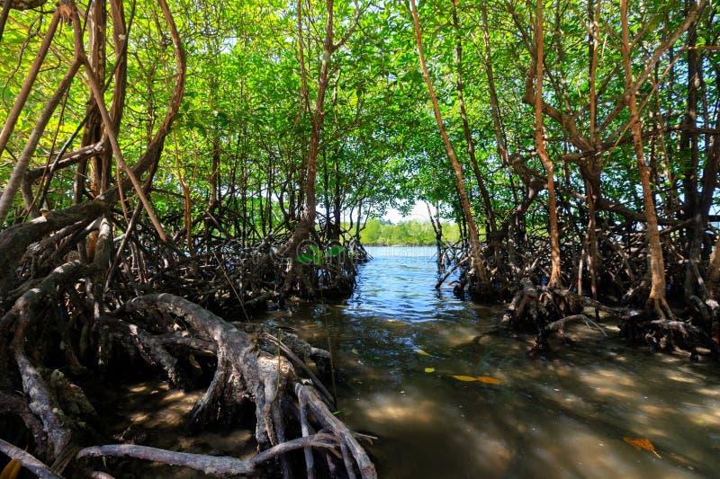 Молодые мангровые деревья стоковые фото