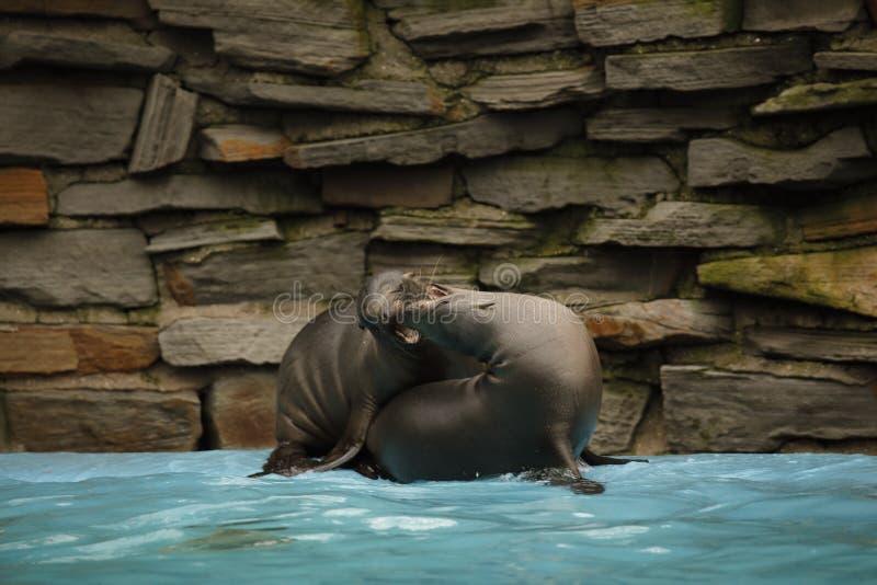 Молодые морсые львы Калифорнии играют в отмело воде стоковые фотографии rf