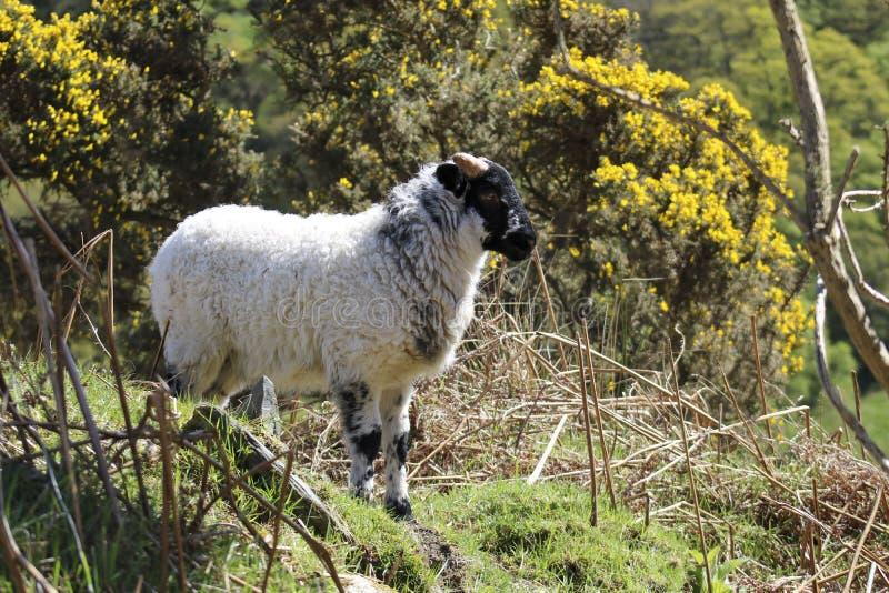 Молодые овцы в поле стоковые изображения rf