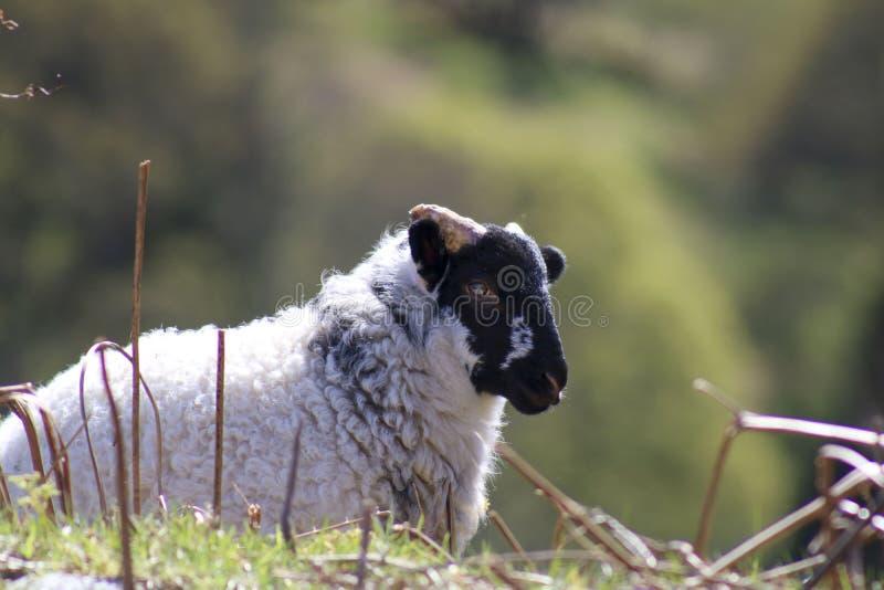 Молодые овцы в поле стоковое изображение