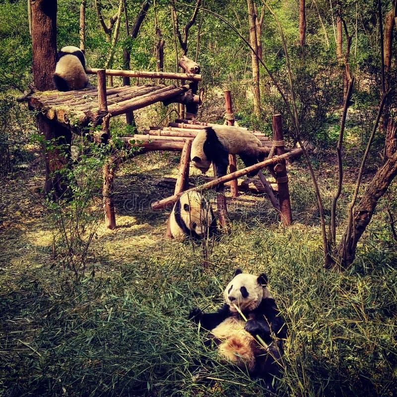 Молодые панды играя и есть стоковое изображение