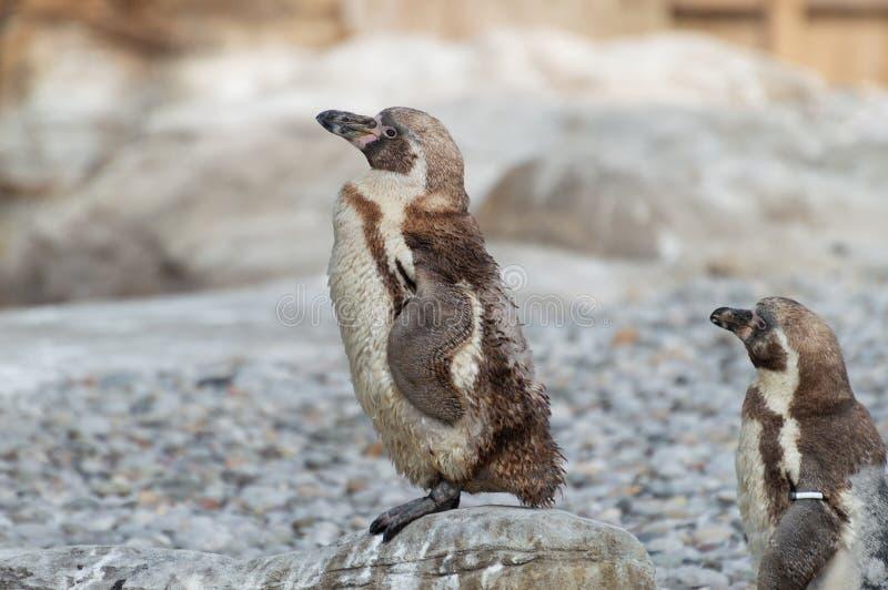 Молодые пингвины Гумбольдта стоковое фото rf