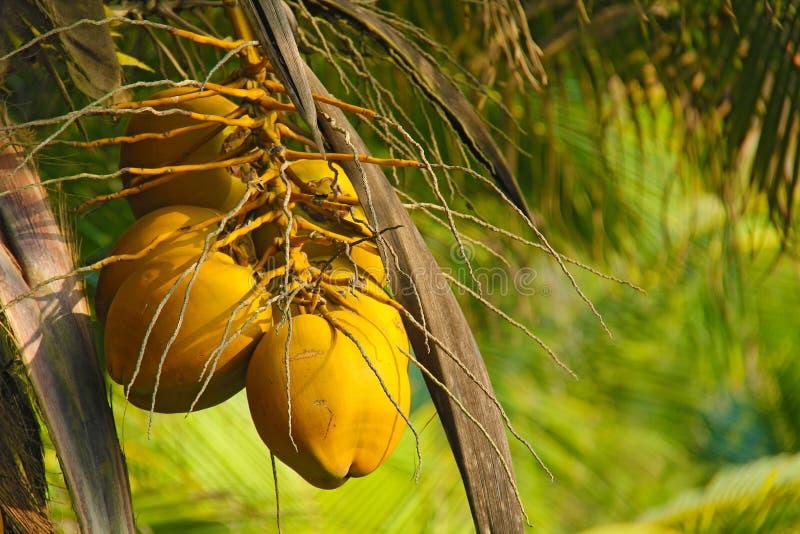 Молодые плодоовощи желтого цвета кокоса которые растут на ладони На зеленом ба стоковое фото